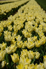 "Tulipa ""Yellow Prince"" (larry_antwerp) Tags: flower netherlands nederland tulip tulp hulst flowerbulb zandberg"