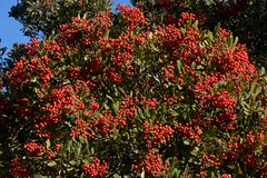Christmas berries on native Toyon (Heteromeles arbutifolia, Rosaceae) (Treebeard) Tags: california santabarbaracounty rosaceae santaynezmountains toyon christmasberry heteromelesarbutifolia eastcaminocielo californiaholly