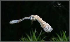 Barn Owl (Col-Page) Tags: bird barn nikon ngc owl pete d800 whieldon