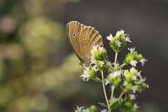 Cheers! (derliebewolf) Tags: light sunset macro butterfly insect schweiz nikon dof tech bokeh wildlife zürich makro ch insekten schmetterling d600 kenko hofstetten 105mmf28dmicro
