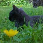 Kissa ulkoilee thumbnail