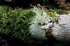 Fallen Dirca branch with moss and three species of lichen (openspacer) Tags: moss lichen shrub usnea jrbp jasperridgebiologicalpreserve dirca thymeaeaceae