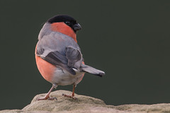 Filigree (Andrew_Leggett) Tags: pink red green stone twist perched bullfinch pyrrhulapyrrhula rspboldmoor andrewleggett