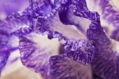 Ribbon (Ian Sane) Tags: show road camera iris two abstract macro floral festival oregon canon garden lens ian photography eos is petals mark images ii 5d ribbon salem usm brooks keizer sane f28l ef100mm quinaby schreiners