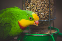 Bird Feeding (connorcinhull) Tags: show red color macro green bird up yellow photography photo nikon close connor parrot feeder photograph feed canary campbell amateur d600