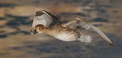 Pintail Duck (F) (kearneyjoe) Tags: