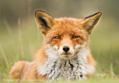 portret ... (Alex Verweij) Tags: red wild nature canon natuur fox 5d predator redfox reinier 200mm roofdier alexverweij