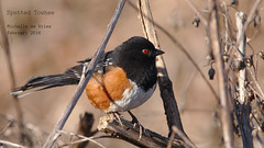 Spotted Towhee (Michelle de Vries) Tags: bird bay sigma sparrow spotted towhee cowichan