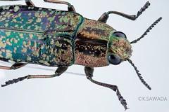 Nipponobuprestis querceti (kenta_sawada6469) Tags: macro colors insect metallic beetle insects beetles specimen jewel coleoptera buprestidae jewelbeetle