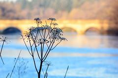 Anthriscus sylvestris (CAscotPhotography) Tags: bridge flowers winter plants lake plant flower nature closeup garden frozen nikon dof wildlife depthoffield dried windsorgreatpark virginiawater d7100 cascotphotography
