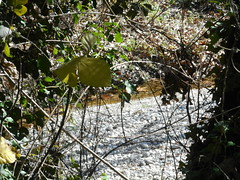 (Psinthos.Net) Tags: winter light sunlight nature water leaves countryside day stones dam branches shore valley noon february thorns brambles sunnyday bramble fallenleaves rivulet artificiallake   winterleaves    fasuli psinthos  wildivy          fasouli          psinthosvalley fasoulipsinthos  fasoulivalley   fasoulipsinthou     psinthosdam