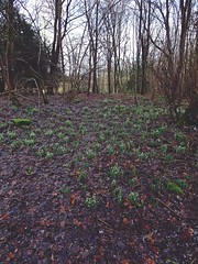 Kiss The Carpet (Bricheno) Tags: wood forest scotland village houston escocia snowdrops szkocja schottland scozia renfrewshire cosse  esccia   bricheno scoia houstonwood
