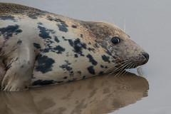 Looking Worried (david.chapman90) Tags: wildlife greyseal donnanook lincolncameraclub