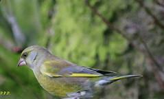 Green Finch -- Chloris chloris (P.P.P ( point - press - pray )) Tags: bird finch