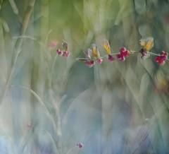Winter winged berries (Franci Van der vyver (Carmen Tulum)) Tags: winter wings berries coralberries helios40285mm