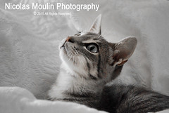 Pilipoll (Nicolas Moulin (Nimou)) Tags: cat chat gato mascota mascotte animaldomestique
