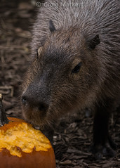 Capybara at the Akron Zoo's Animal Enrichment day in October. (clevbuck1986) Tags: ohio pumpkin zoo akron capybara akronzoo enrichment