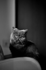 Teddy (shan.yew) Tags: blackandwhite bw monochrome cat mono chat teddy kitty gato neko katze gatto blackandwhitephoto exoticshorthair