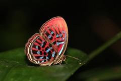 Malay Red Harlequin (Paralaxita damajanti) (moloch05) Tags: malaysia taman negara