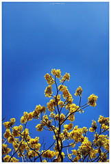 Guayacn (R-MeGa) Tags: blue sky green yellow azul mxico pentax amarillo rbol mx ricoh fci morelos guayacn mx1 fotoclubingenieros pentaxmx1 fotoclubing