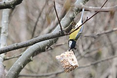 Hang On. (martynshutt71) Tags: wild bird nature fauna flora tit great cumbria