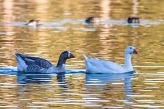 Pair of Domestic Geese (lybrand) Tags: water birds us unitedstates lasvegas wildlife nevada sunsetpark domesticgoose
