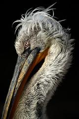 "Pelicano ceudo ""Pelecanus crispus"" (alimoche67) Tags: barcelona espaa naturaleza fauna zoo minolta sony alpha catalua slt cautividad translucentmirror josejurado"