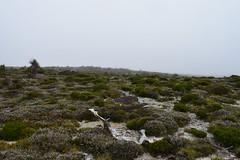 Mt Read in the mist (dracophylla) Tags: tasmania mtread