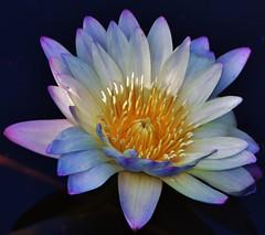 Mostly white....on black - EXPLORE 2-14-16 (stevelamb007) Tags: macro nature garden illinois pond nikon waterlily lily explore single glencoe chicagobotanicgarden 18200mmvr stevelamb d7200