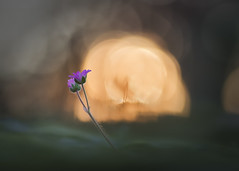 love (ALQVIMIA) Tags: love sol nikon flor galicia tamron ocaso valdeorras