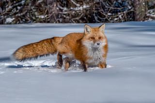 Red fox 04