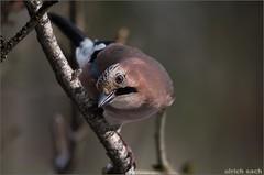 Eichelhher (Weinstckle) Tags: vogel rabenvogel eichelhher