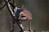 Eichelhäher (Weinstöckle) Tags: vogel rabenvogel eichelhäher