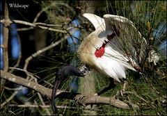 Australian White Ibis - Gympie, Qld. (grayham3) Tags: bird nature birds canon wildlife australian feathers australia ibis qld queensland ornithology waders waterbirds australianwildlife australianwhiteibis sigma105 gympie seq sequeensland wildscape
