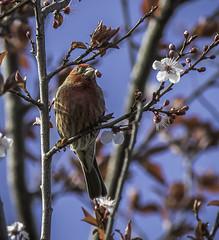 House Finch (julesnene) Tags: california bird nature backyard feeder finch backyardbird housefinch canonef400mmf56lusmlens julesnene juliasumangil canon7dmarkii canon7dmark2 haemorhousmexicanus