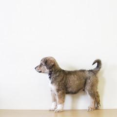 Harrison the Adoptable Border Collie / Shepherd / Labrador Puppy (Immature Animals) Tags: arizona brown puppy harrison legs tucson tail profile tan az shaggy shag