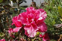 Azalia (jcmdn_87) Tags: sun flower planta sol nature canon garden natureza natur flor jardim dslr cor corderosa canonphoto