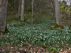 Mrzenbecher im Eselsburger Tal (MsAndi63) Tags: spring forrest wald frhling mrzenbecher eselsburgertal ostalb panasoniclumixfz150