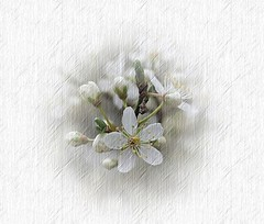 Delicate blossoms (mamietherese1) Tags: ngc phvalue
