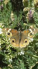 Chaykin - Eye See You (tchaykin) Tags: nature butterfly garden photography camouflage organic naturalbeauty soe butterflybush greatshotss contactgroups allnaturesparadise