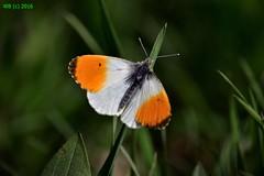 DSC_0026n wb (bwagnerfoto) Tags: orange up animal butterfly insect nationalpark close outdoor tip schmetterling aurorafalter pillang lobau anthocharis lepke cardamines donauauen tagfalter hajnalprlepke