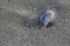 Small Coquina Clam (Donax variabilis) (mkingimages) Tags: sea detail macro texture beach animal sand small clam shore bivalve