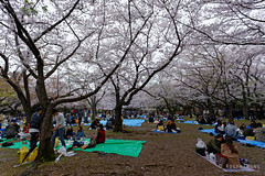 20160405-058-Picnics under Yoyogi-koen cherry blossoms (Roger T Wong) Tags: travel people holiday japan garden balloons tokyo spring picnic crowd harajuku cherryblossoms canonef1740mmf4lusm yoyogikoen 2016 canon1740f4l canoneos6d rogertwong