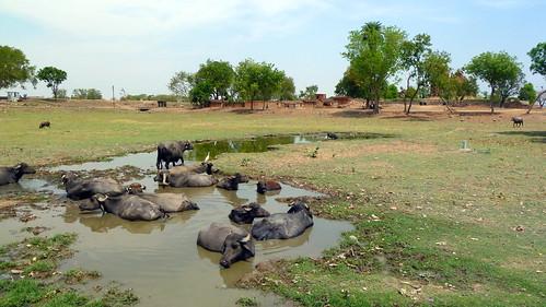 India - Madhya Pradesh - Khajuraho - Water Buffalo - 1