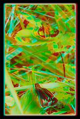 Poanes Zabulon, Zabulon Skipper Butterflies 1 - Anaglyph 3D (DarkOnus) Tags: macro closeup butterfly insect lumix stereogram 3d pennsylvania skipper butterflies anaglyph panasonic stereo stereography buckscounty poanes zabulon dmcfz35 darkonus