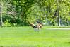 _DSC5099.jpg (orig_lowolf) Tags: usa dog oregon nikon flickr running lakeoswego georgerogerspark d300s sigma150500mmf563afapodgoshsmtelephotozoom