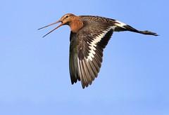 Go, Godwit Go! (Ger Bosma) Tags: summer sun bird flying inflight call flight sunny bluesky calling wader godwit grutto blacktailedgodwit wadingbird limosalimosa alarmcall uferschnepfe agujacolinegra bargeàqueuenoire pittimareale 2mg32961b