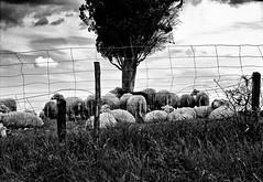 """ Le pecore di Pietro "" (pigianca) Tags: bw monochrome analog blackwhite desaturation leicam6 summilux50mmf14"