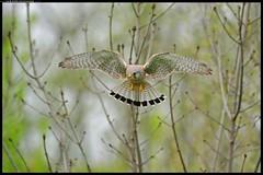 DSC_6412-24-04-08-1 - gheppio (r.zap) Tags: falcotinnunculus parcodelticino gheppio nosate rzap cornarina