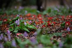 20160403-DSC_6111.jpg (d3_plus) Tags: sky plant flower macro nature rain japan walking nikon scenery waterdrop bokeh hiking drop daily telephoto rainy bloom  tele nikkor  wildflower  kanagawa   dailyphoto   thesedays 80200mm 80200 sagamihara   dogtoothviolet       8020028 zoomlense 80200mmf28d shiroyama  80200mmf28   erythroniumjaponicum     80200mmf28af d700  nikond700  aiafzoomnikkor80200mmf28sed dogtoothvioletvillage